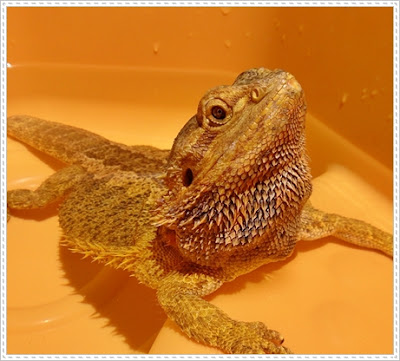 bearded dragon obese