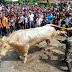 Ibadah korban lembu 'sado' disaksikan lebih 1,000 orang