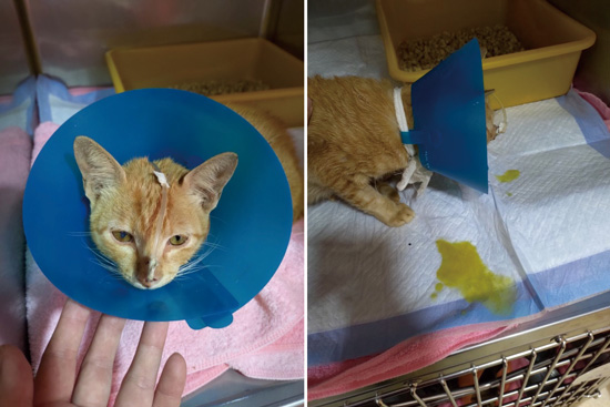 嚴重癲癇的米克斯貓,送到德民動物醫院緊急治療。