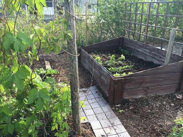 vihanneksien kasvatus