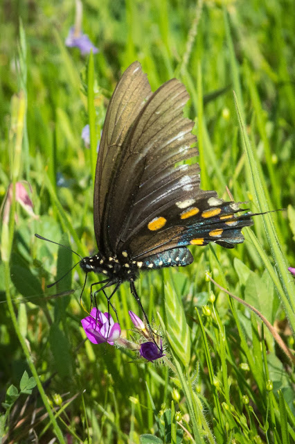 Pipevine Swallowtail, Turkey Bend Recreation Area