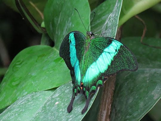 Paź zielony (Papilio palinurus).