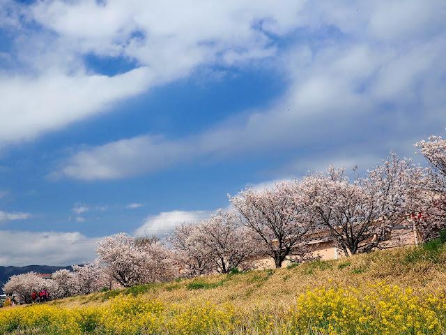 狩川 富士フィルム工場前 春めき桜 春木径 幸せ道 菜の花