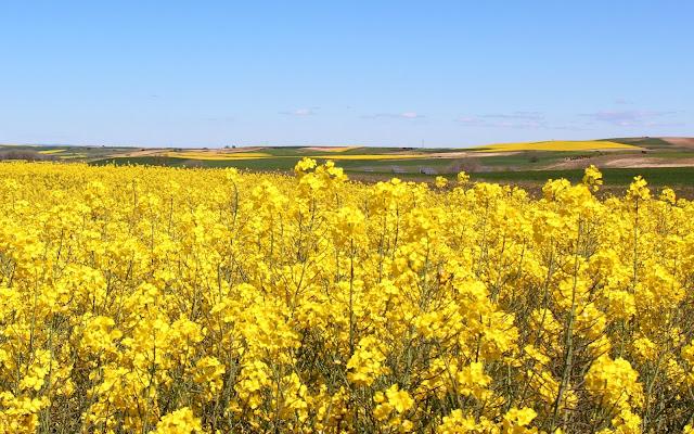 Campos de colza en Zamora
