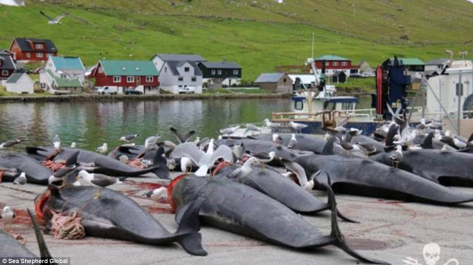 Shocking Pictures Show Mass Slaughter Of Dolphins And Whales In The Faroe Islands