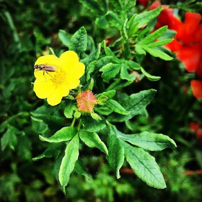 Pensashanhikki pienet keltaiset kukat pensas suipot pienet lehdet