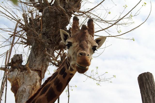vedere le giraffe negli zoo