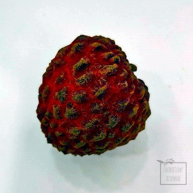 Liczi chinskie (Litchi chinensis) dziwna odmiana, duże i dziwne liczi, odmiana 'Nuomi ci'/ 'Nomi ci'. Tropikalne owoce jadalne, nietypowy owoc egzotyczny, chińskie odmiany liczi, lytchee.