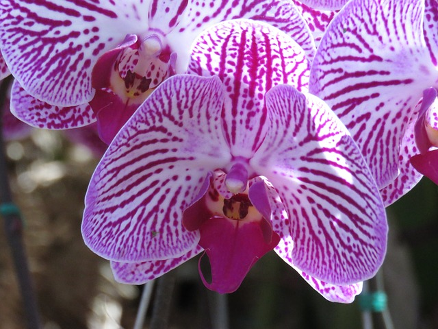 Hoa lan hồ điệp đẹp nhất thế giới 5
