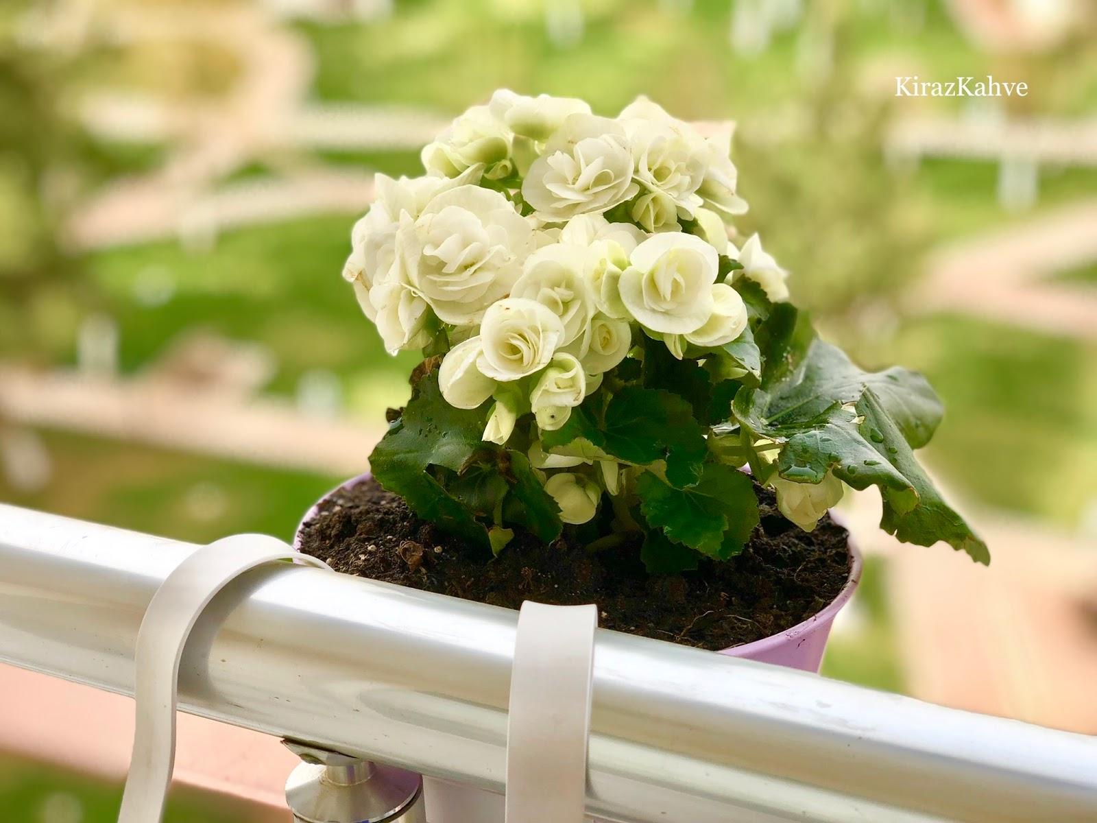 beyaz gardenya