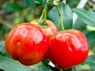 Acerola Berry Fruit Pictures