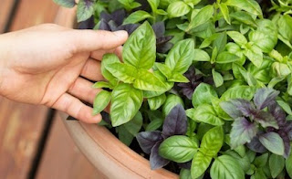 23 Health Benefits OF Basil
