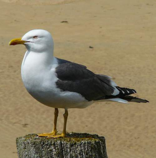 Indian birds - Image of Lesser black-backed gull - Larus fuscus
