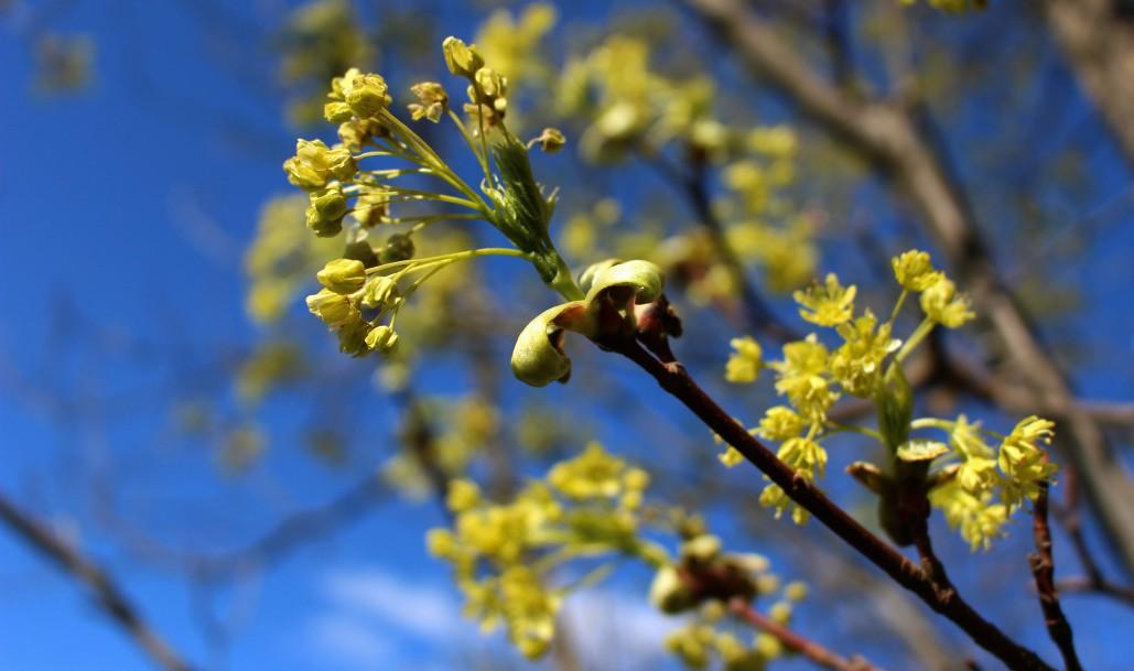 äitienpäivä, vaahtera, kevät, Rouva Sana