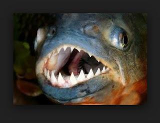 اسنان سمك البيرانا المفترس