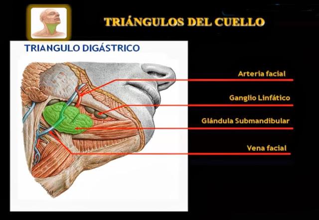 Triángulo digástrico del cuello vista lateral derecha