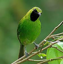 Burung Cucak Hijau - Rahasia Perawatan Burung Cucak Hijau Agar Gacor Owor-Owor - Penangkarna Burung Cucak Hijau