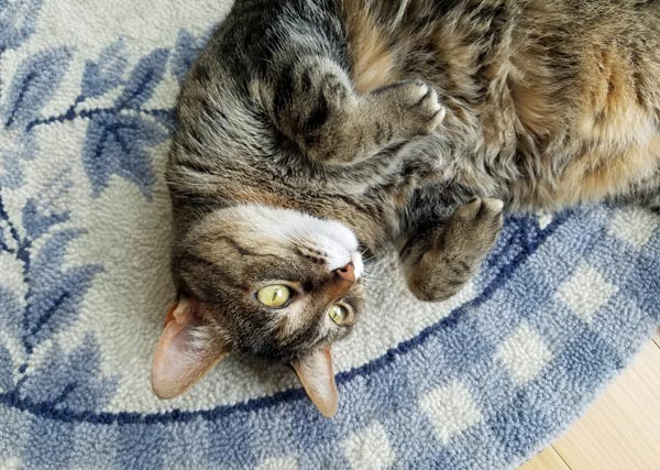 image of Sophie the Torbie Cat curled up on her back on a blue and white rug