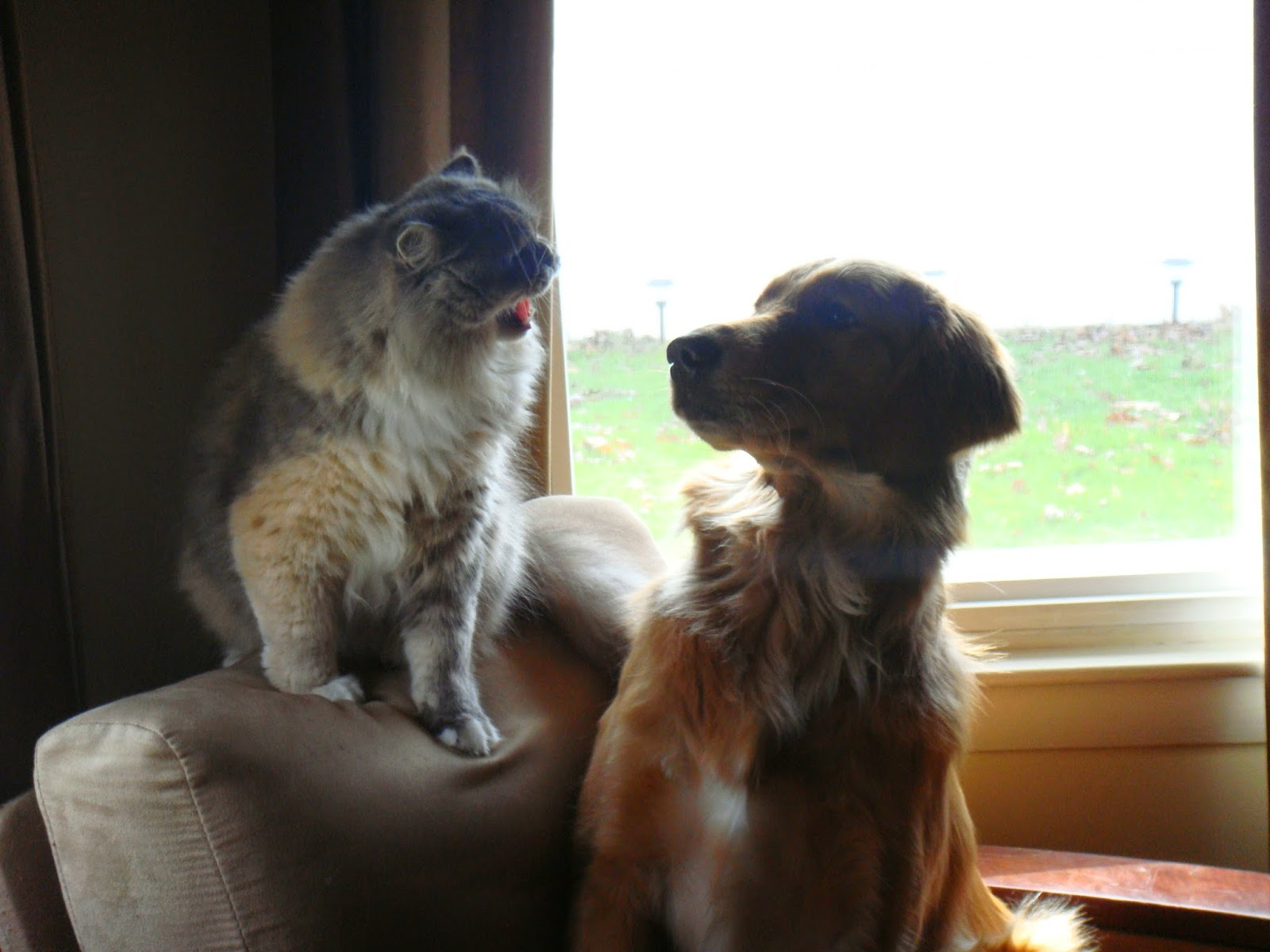 cat yelling at golden retriever dog