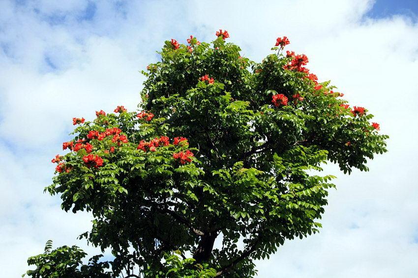 Copa de uma árvore adulta com bastantes flores