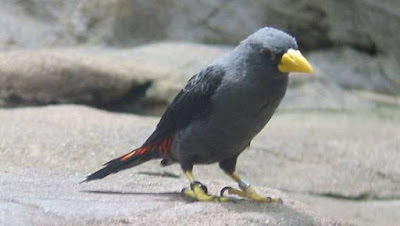 Foto Burung Jalak Rio Cara Merawat Rio-Rio Kicau Ngriwik Gacor
