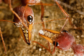 The most dangerous ant in the world