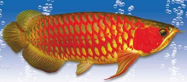 Mengenal Jenis Ikan Arwana Dan Cara Perawatannya