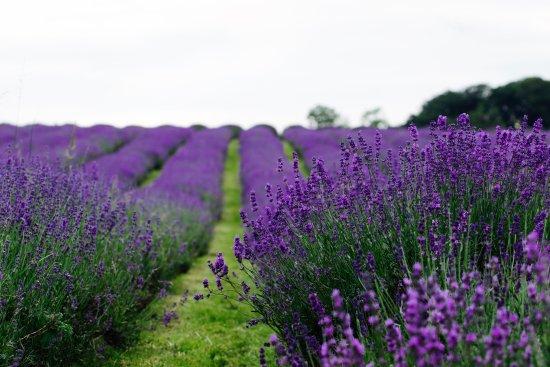 cánh đồng hoa oải hương đẹp nhất thế giới 7