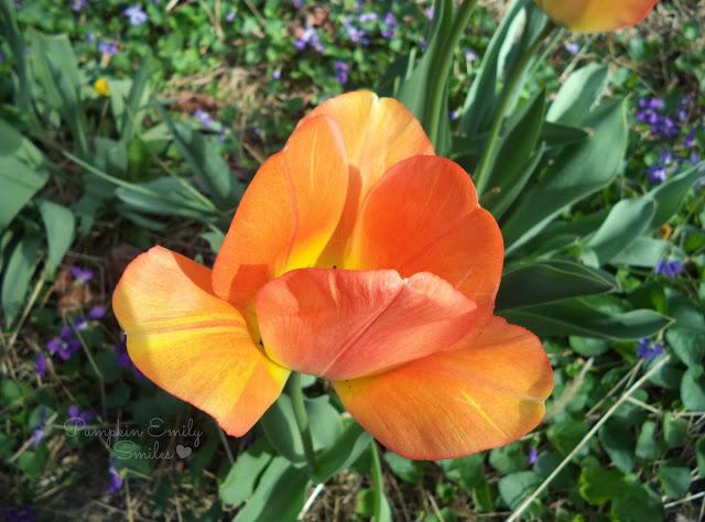 A orange Tulip