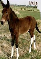 mule, mule animal