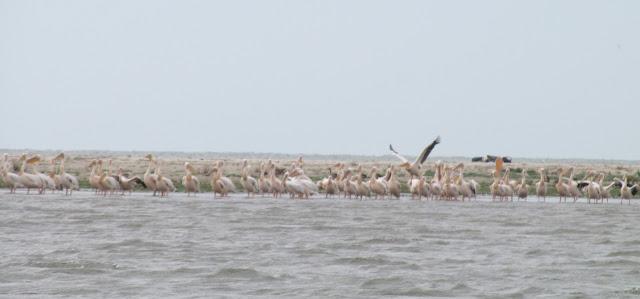 sfantu gheorghe delta dunarii pelicani
