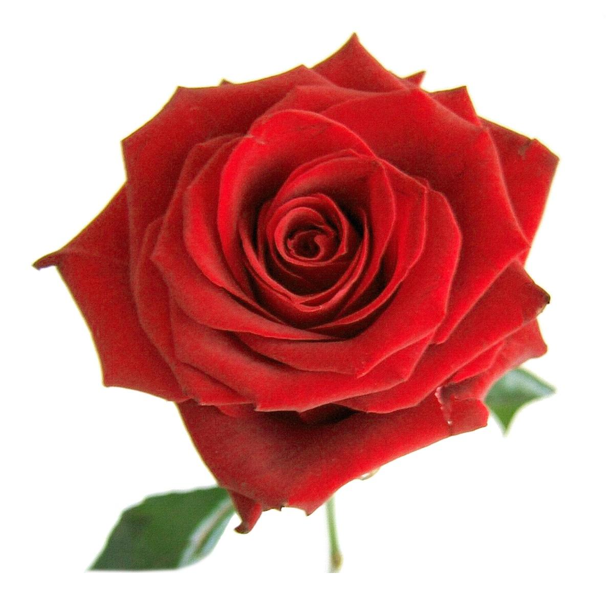 Rosas rosadas png buena resolución