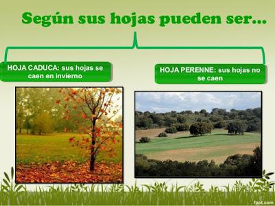 El blog de quinto tema 2 conocemos el mundo de las for Ejemplos de arboles de hoja perenne