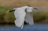 Little Egret - Birds In Flight Photography Cape Town with Canon EOS 7D Mark II  Copyright Vernon Chalmers