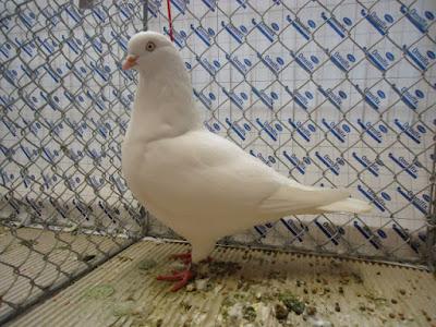 tümmler tauben - white pigeons