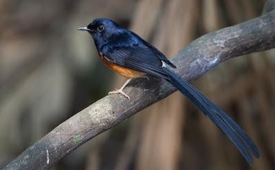 Tips Dan Trik Akurat Cara Mengetahui Jenis Burung Murai Batu Ekor Hitam