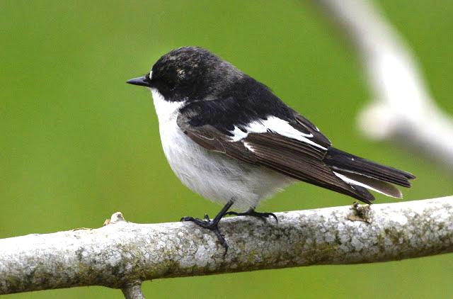 Bildresultat för svartvit flugsnappare