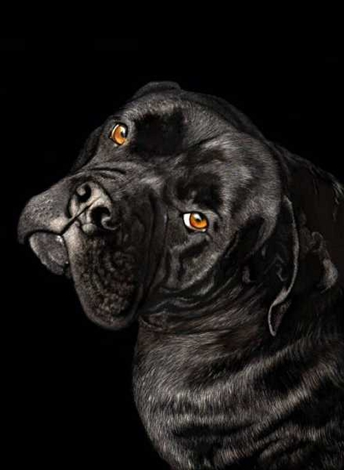 09-Dozer-Looking-Casual-Lorna-Hannett-Animals-Drawings-Scratched-out-of-Ink-with-the-Scratchboard-www-designstack-co