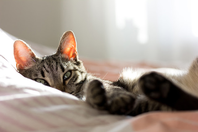 What are the Five Freedoms, and what do they mean for pet owners? They apply to the welfare of all pet animals, such as this sleepy cat pictured.