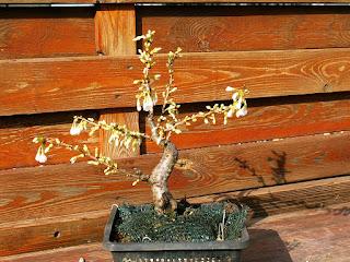 fuji cherry bonsaj flower buds