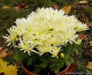 Chryzantema wielkokwiatowa Kodiak Yellow Chrysanthemum grandiflorum