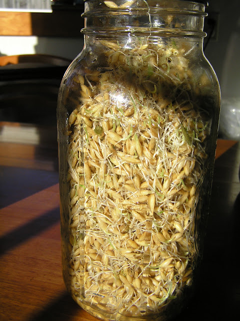 sprouted whole wheat for chickens
