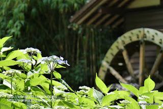 ガクアジサイと水車小屋の写真