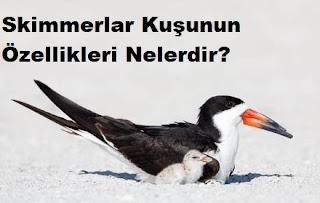 Skimmerlar Kuşunun Özellikleri Nelerdir?