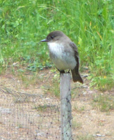 photo of an eastern phoebe on a fence post