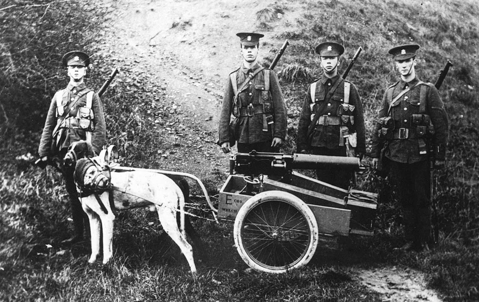 Harnessed dogs pull a British Army machine gun and ammo, 1914. These weapons could weigh as much as 150 pounds.