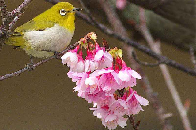 Japanese White Eye, mejiro, cherry blossoms, tree