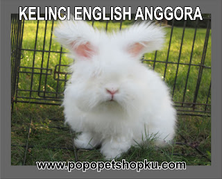 kelinci jenis english anggora
