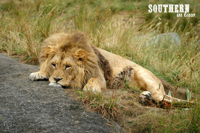 Sleepy African Lions at Paradise Valley Springs Wildlife Park Rotorua New Zealand