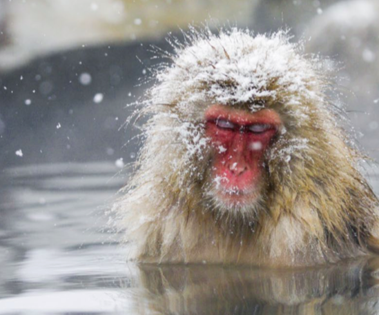 miss happyfeet how to visit the snow monkey park in nagano